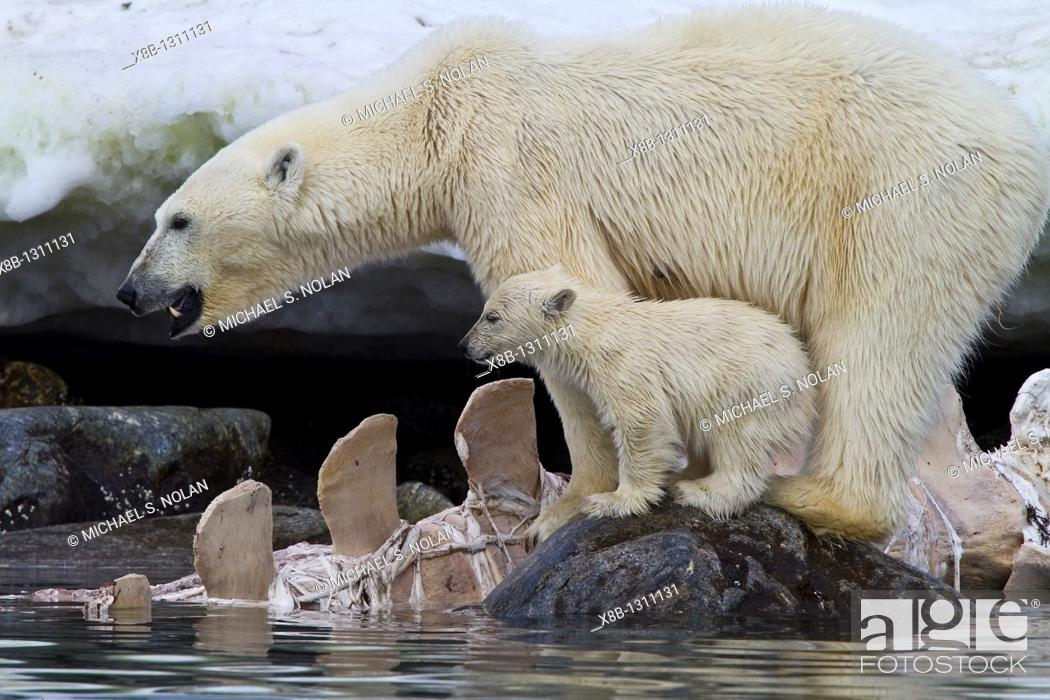 Stock Photo: Mother polar bear Ursus maritimus with COY cub-of-year feeding on a fin whale carcass in Holmabukta on the northwest coast of Spitsbergen in the Svalbard.