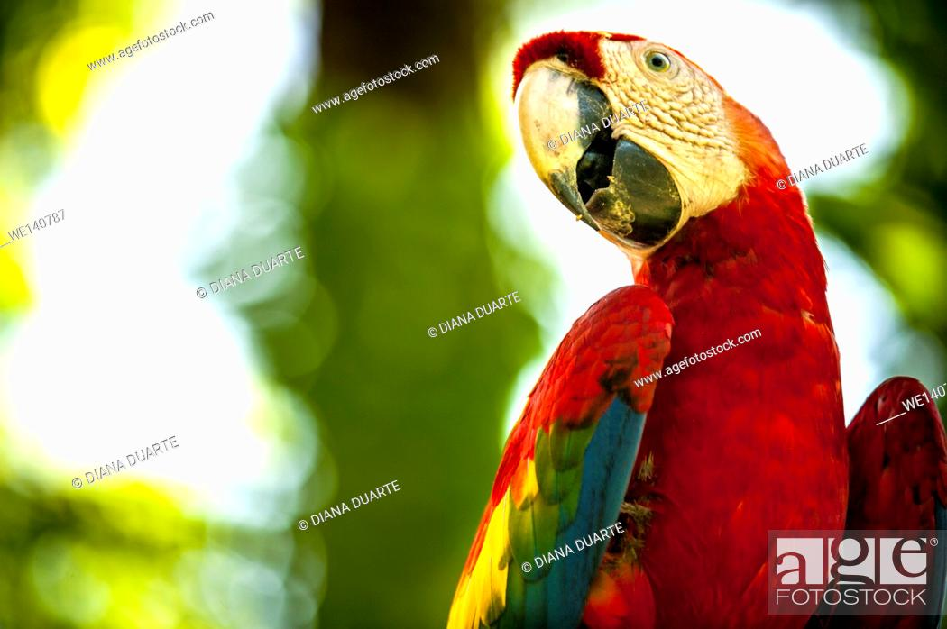 Stock Photo: 'Scarlet macaw' (Ara macao), This species is famous for its vivid red feathers, which cover its back, head and the lower part of its tail.