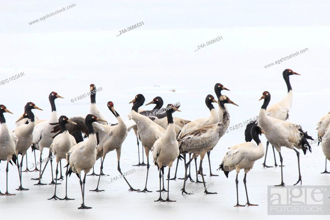 Stock Photo: Black necked crane (Grus nigricollis) on Da Shan Bao in Yunnan China.
