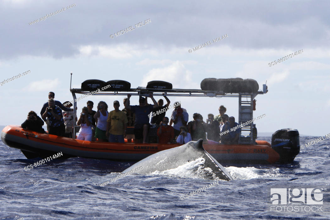 Stock Photo: Humpback whale Megaptera novaeangliae approaching commercial whale watching boats in the AuAu Channel off Lahaina, Maui, HAwaii Pacific Ocean No model or.