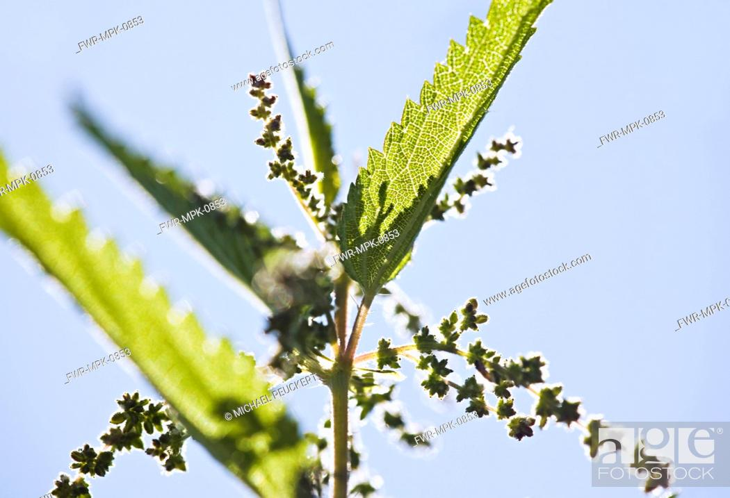 Stock Photo: Urtica dioica, Nettle.