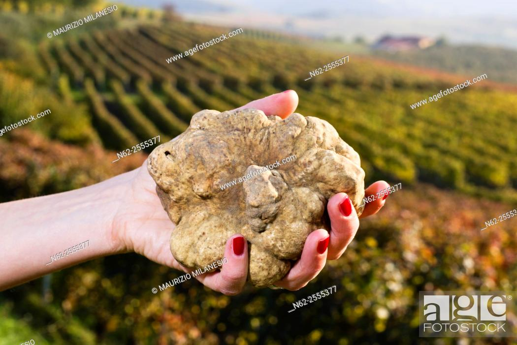 Stock Photo: White truffles from Piedmont, Italy, in the hands of a woman in the background a landscape of hills with vineyards of Langhe.