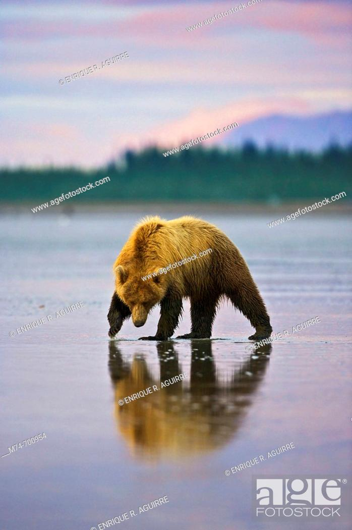 Stock Photo: Grizzly Bear (Ursus arctos horribilis) looking for clams on a beach at low tide, Lake Clark NP, Cook Inlet, Alaska.