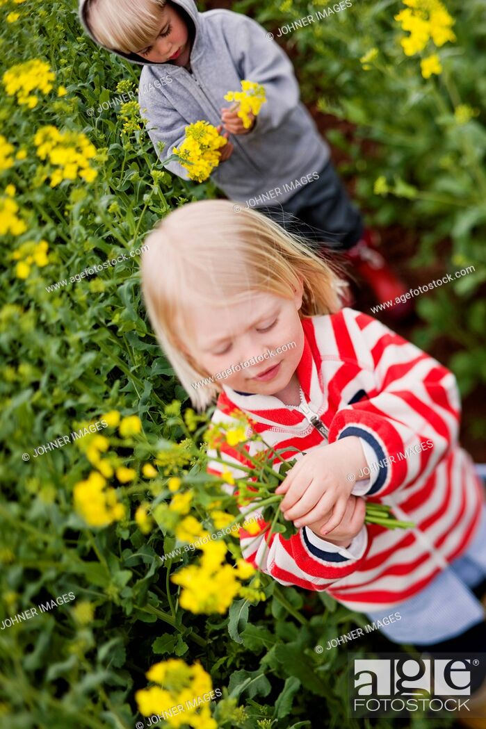 Stock Photo: Children picking oilseed rape flowers.