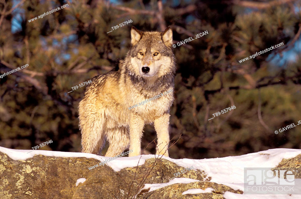 Stock Photo: USA, Minnesota, Northern Woods, A Gray Wolf (Canus lupus) in the Winter,.