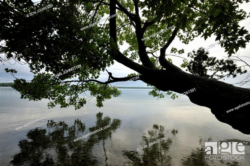 Stock Photo: Maple tree overhanging shoreline of Kagawong Lake.