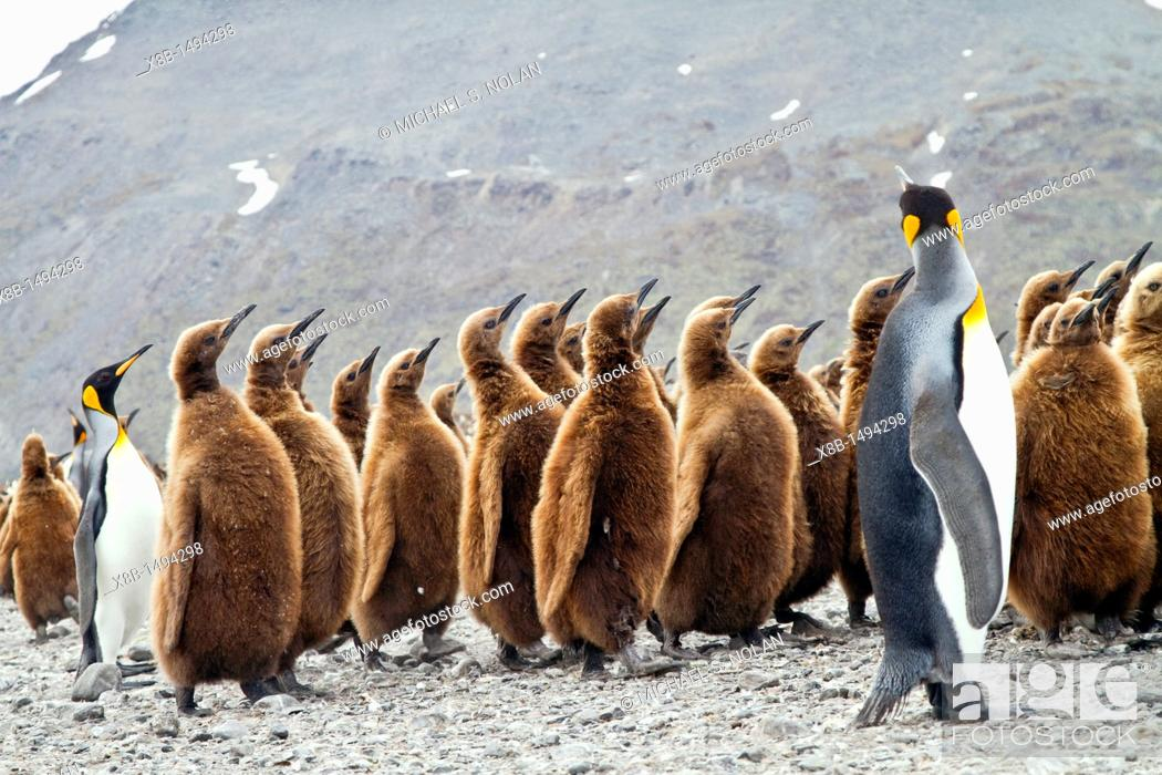 Imagen: King penguins Aptenodytes patagonicus in downy plumage often called 'okum boys' on South Georgia Island, Southern Ocean  MORE INFO The king penguin is the.