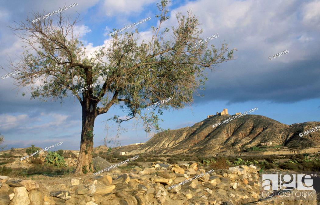 Stock Photo: Olive tree (Olea europaea) and Tabernas castle in background. Almeria. Andalucia. Spain.