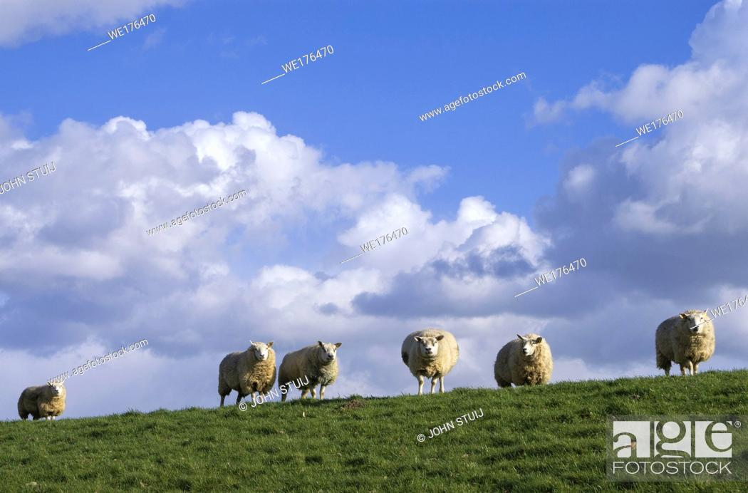 Stock Photo: Grazing sheep on a dike on the Isle of Dordrecht.