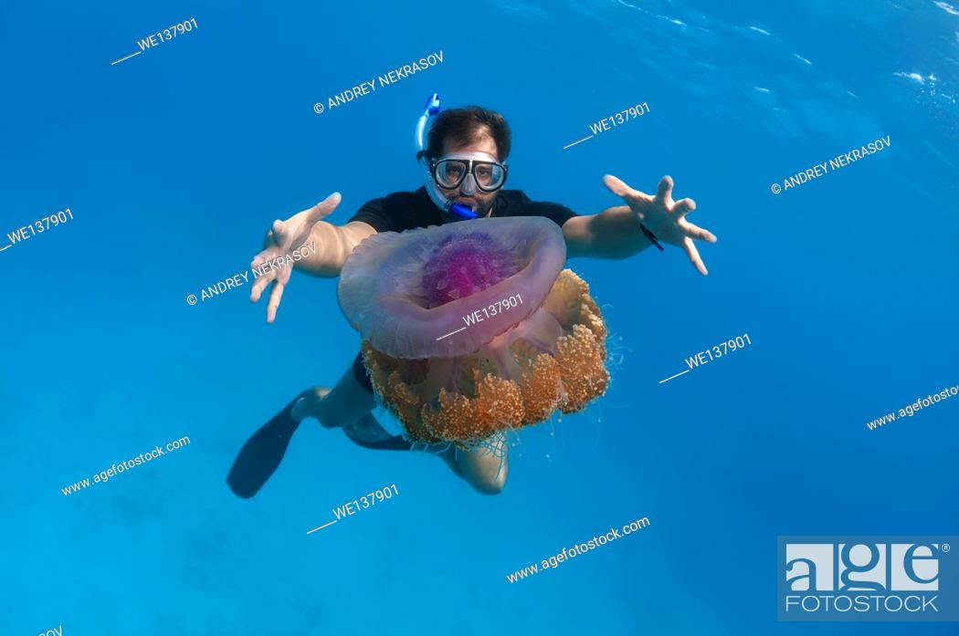 Stock Photo: man looks at jellyfish Cauliflower jellyfish (Cephea cephea) Indian Ocean, Maldives.