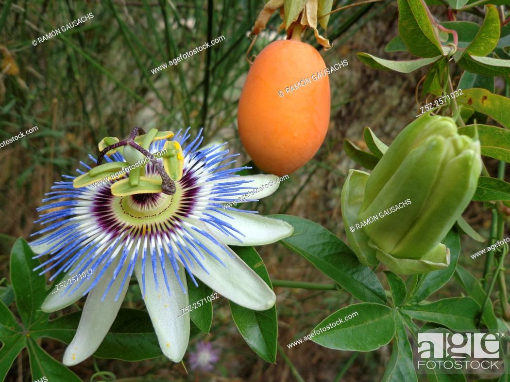 Stock Photo: Blue passion flower (Passiflora caerulea). Catalonia , Spain.