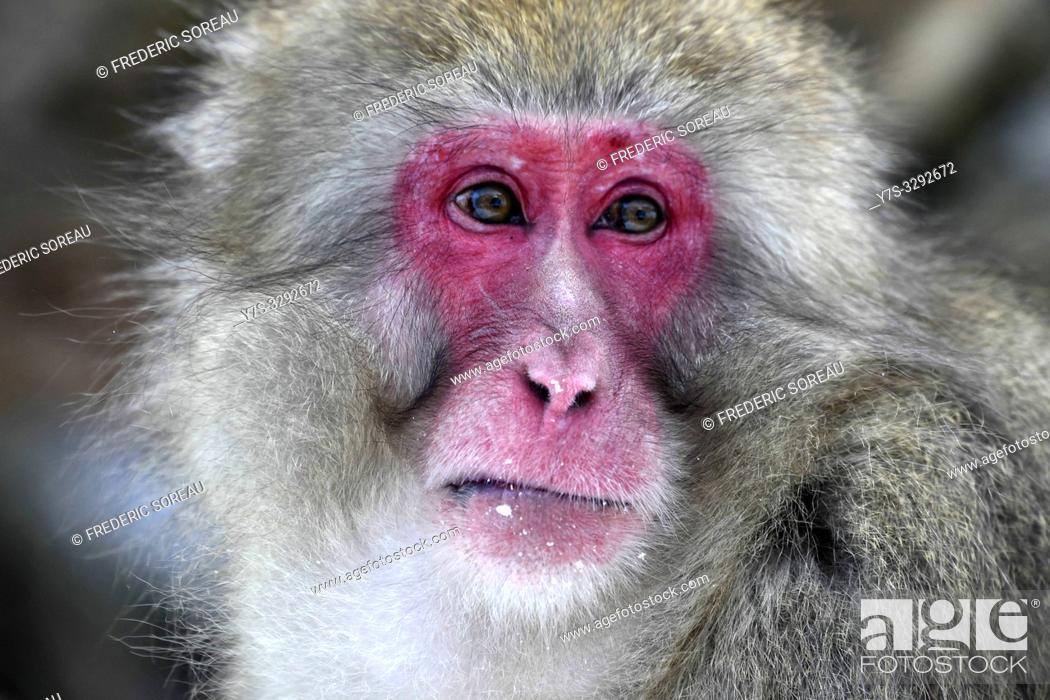 Stock Photo: Snow monkey in Jigokudani National Park, Nagano, Japan, Asia.