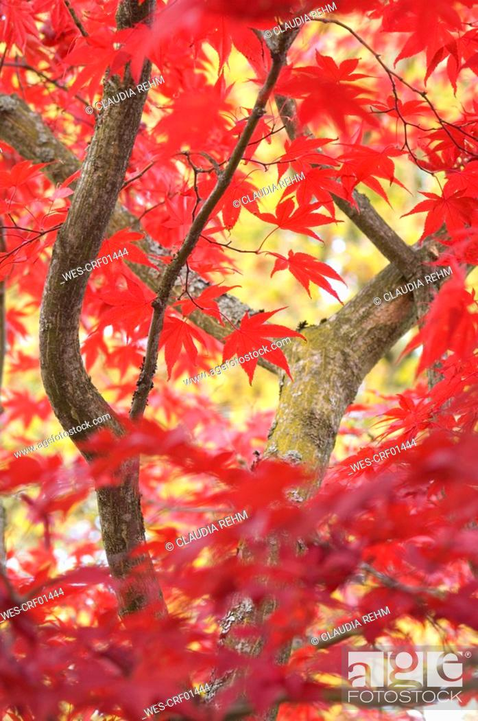 Stock Photo: Japanese maple tree Acer palmatum, close-up.