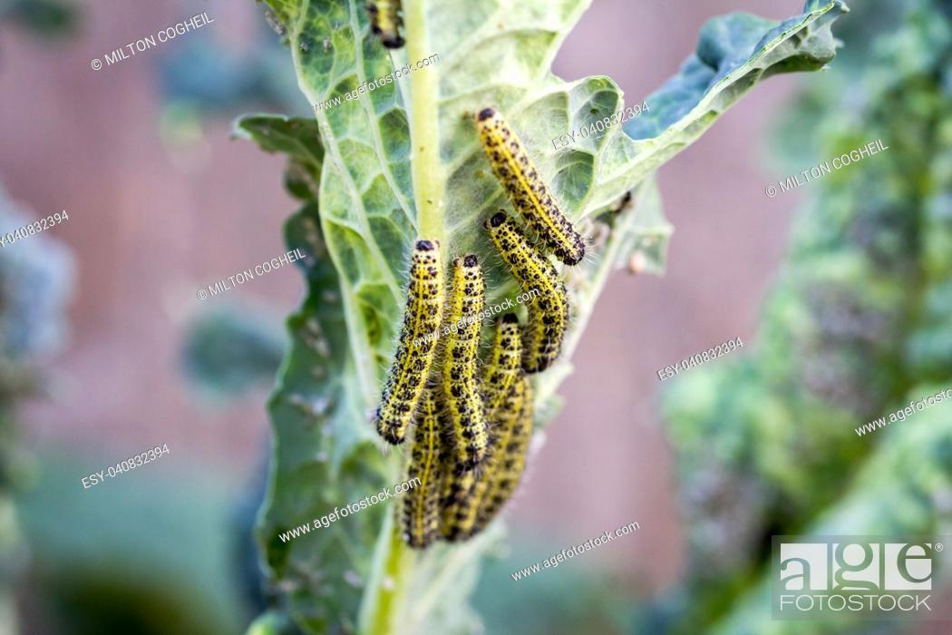 Stock Photo: The caterpillar larvae of the cabbage white butterfly eating the leaves of a cabbage.