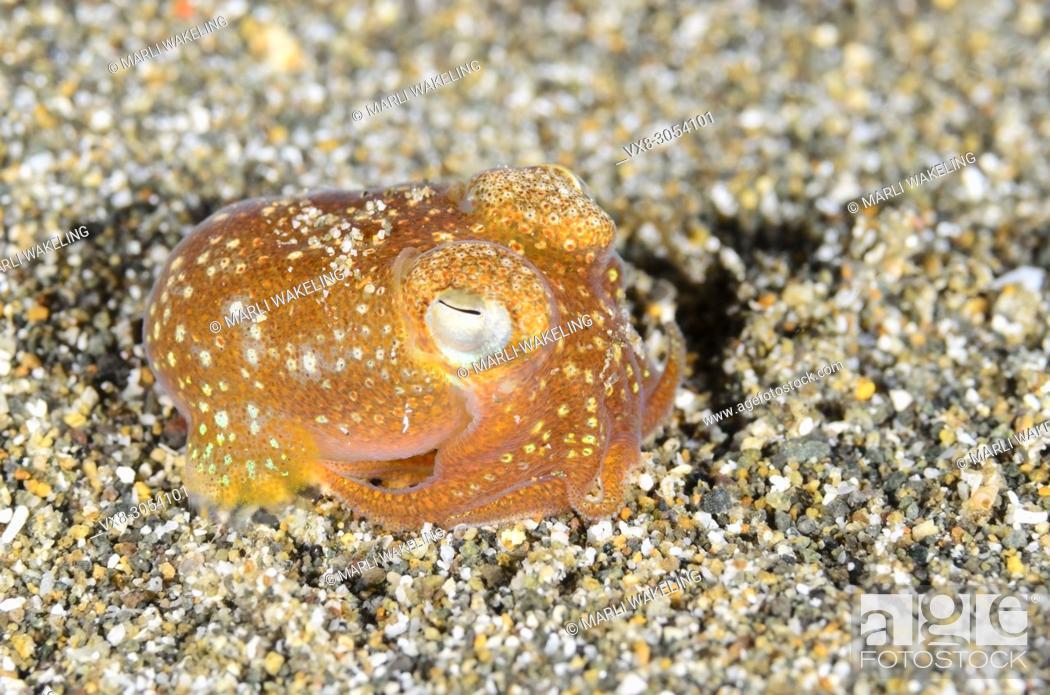 Stock Photo: Tropical bottletail squid, Sepiadarium kochi, Anilao, Batangas, Philippines, Pacific.