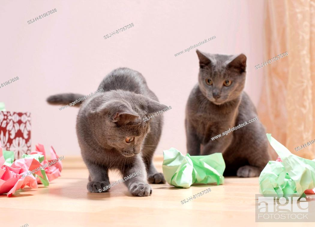 Stock Photo: Chartreux cat. Pair of kittens playing with a box filled with paper, fine toy for cats. Germany.
