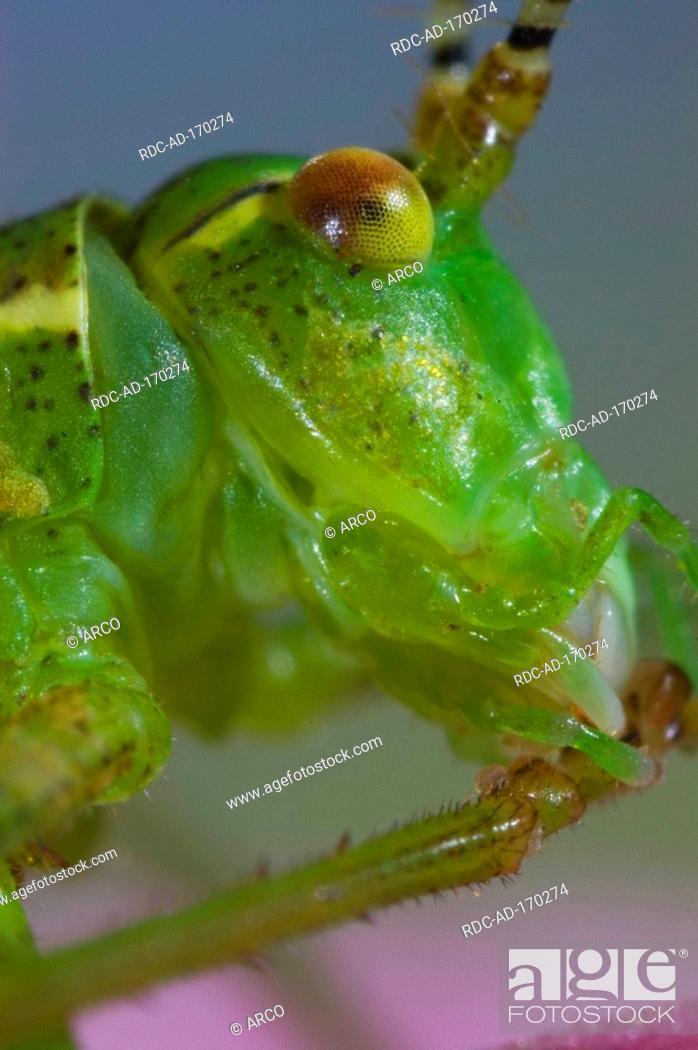 Stock Photo: Striped Bush-cricket, Leptophyes albovittata.