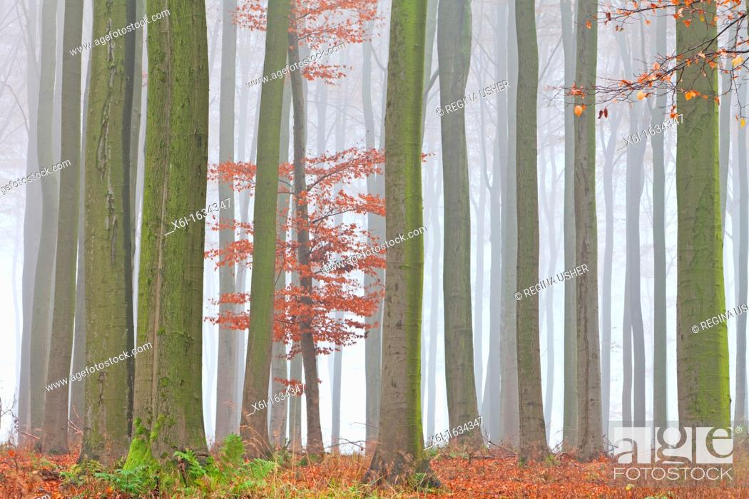 Stock Photo: Beech Tree Fagus sylvatica, Woodland and Autumn Mist, Hessen, Germany.