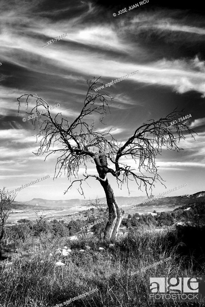 Stock Photo: Tree, Casas del Señor, Pinoso, Alicante province, Comunidad Valenciana, Spain.
