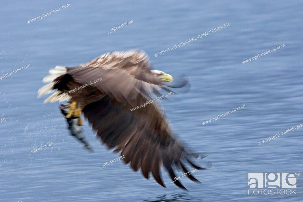 Stock Photo: White-tailed eagle (Haliaeetus albicilla) catching a fish, Norway.