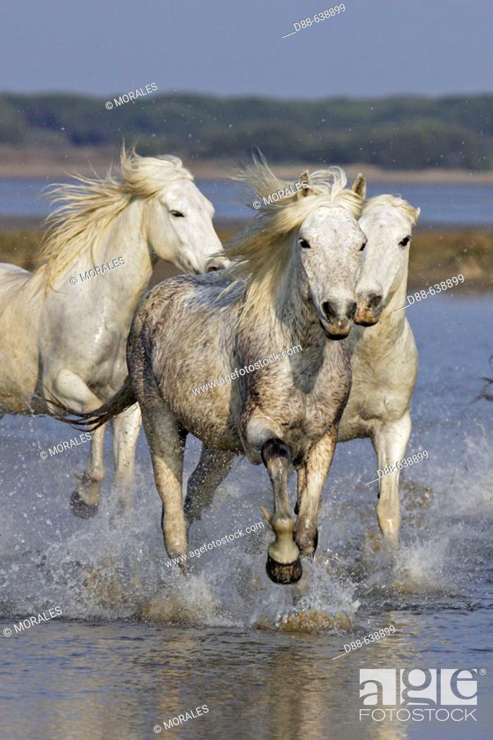 Stock Photo: Camargue horses. Saintes Maries de la Mer. Bouches du Rhone. Camargue. France.