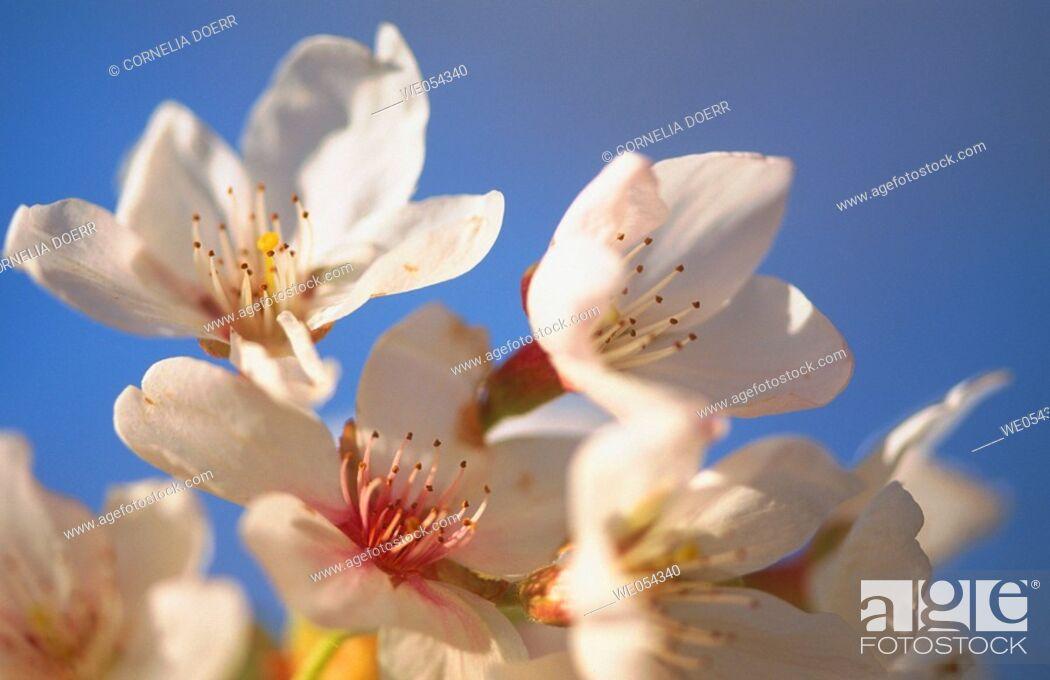 Stock Photo: Flowers, Berchtesgadener Alpen National Park. Bavaria, Germany.