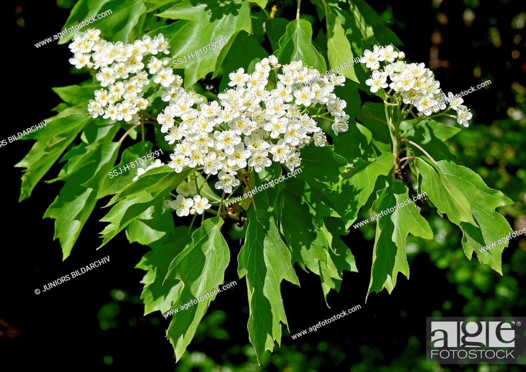 Imagen: Wild Service Tree, Chequers Tree, Checkers Tree (Sorbus torminalis). Twigs with leaves and flowers. Germany.