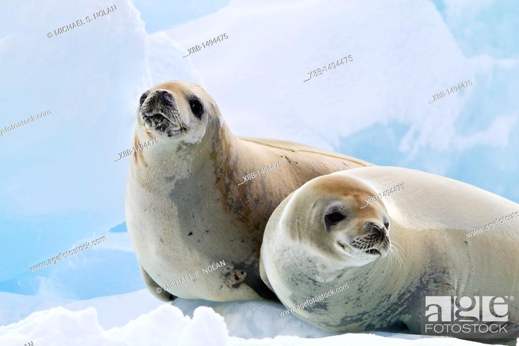 Stock Photo: Crabeater seal Lobodon carcinophaga hauled out on ice floe near the Antarctic Peninsula, Antarctica  MORE INFO Crabeater seals often exhibit spiral scarring on.