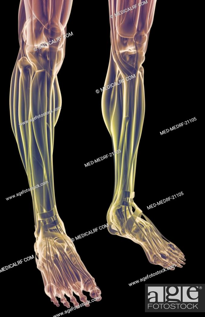 Stock Photo: The muscles of the legs.