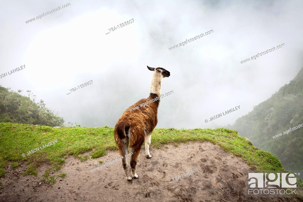 Stock Photo: A Llama L  glama overlooking the foggy valley at Machu Picchu, Peru.