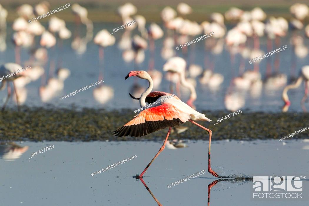 Stock Photo: Greater Flamingo (Phoenicopterus roseus), running, Laguna de Fuente de Piedra, Málaga province, Andalusia, Spain.