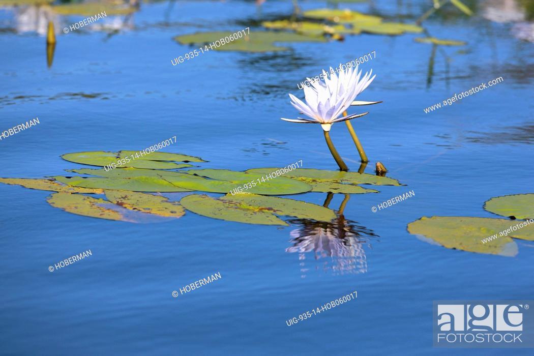 Stock Photo: Water Lillie, Chobe National Park, Botswana, Southern Africa.