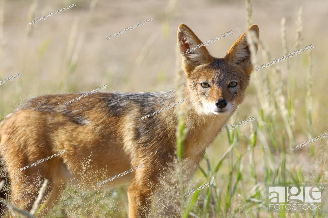 Stock Photo: Black-backed jackal (Canis mesomelas), adult, standing in the high grass, alert, Kgalagadi Transfrontier Park, Northern Cape, South Africa, Africa.
