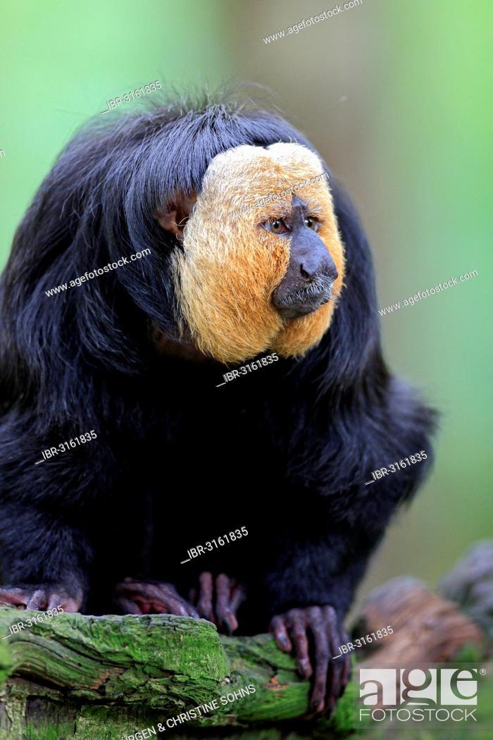 Imagen: White-faced Saki, Guianan Saki or Golden-faced Saki (Pithecia pithecia), adult, male, native to South America, captivee, Apeldoorn, Gelderland, The Netherlands.