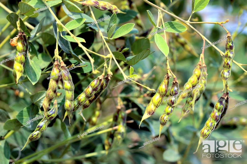 Stock Photo: Pulses red gram pigeon pea congo pea cajanus cajan cajanus indicus pea pods hanging on plant.