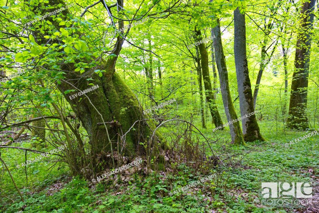 Stock Photo: Old broken linden tree stump still alive, Bialowieza Forest, Poland, Europe.