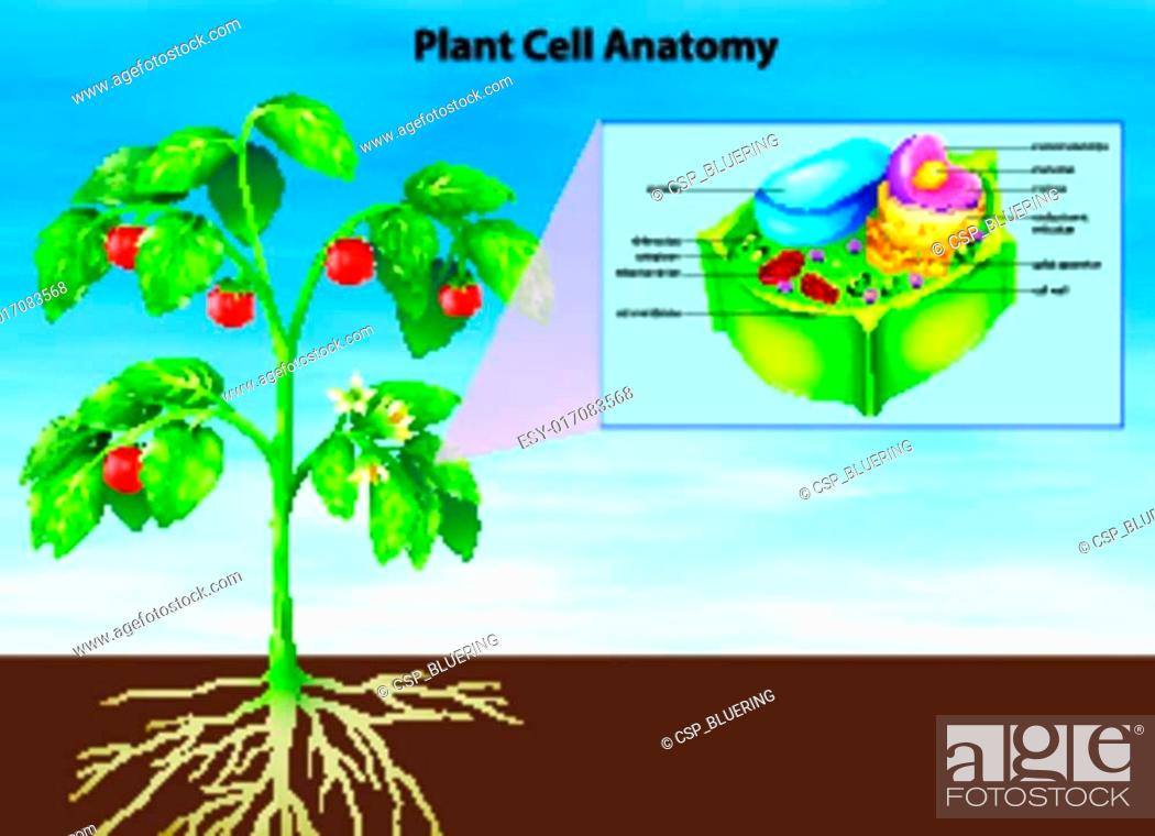 Anatomy of the plant cell, Stock Vector, Vector And Low Budget ...