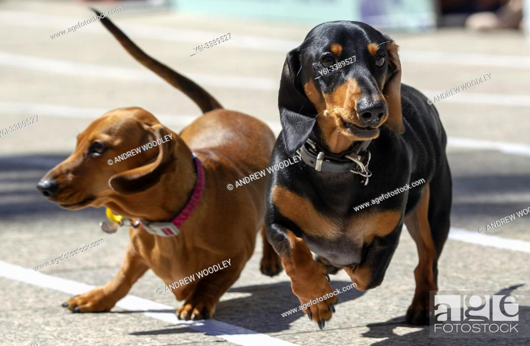 Stock Photo: Annual dachshund races and fancy dress contest at Southbank Melbourne raise funds for Dachshund Rescue. Australia.
