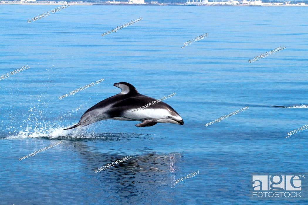 Stock Photo: Pacific White Sided Dolphin.