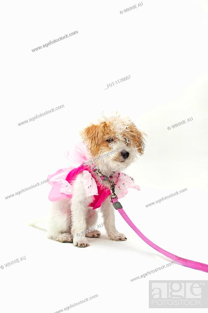 Stock Photo: A mixed breed dog wearing a pink fairy costume.