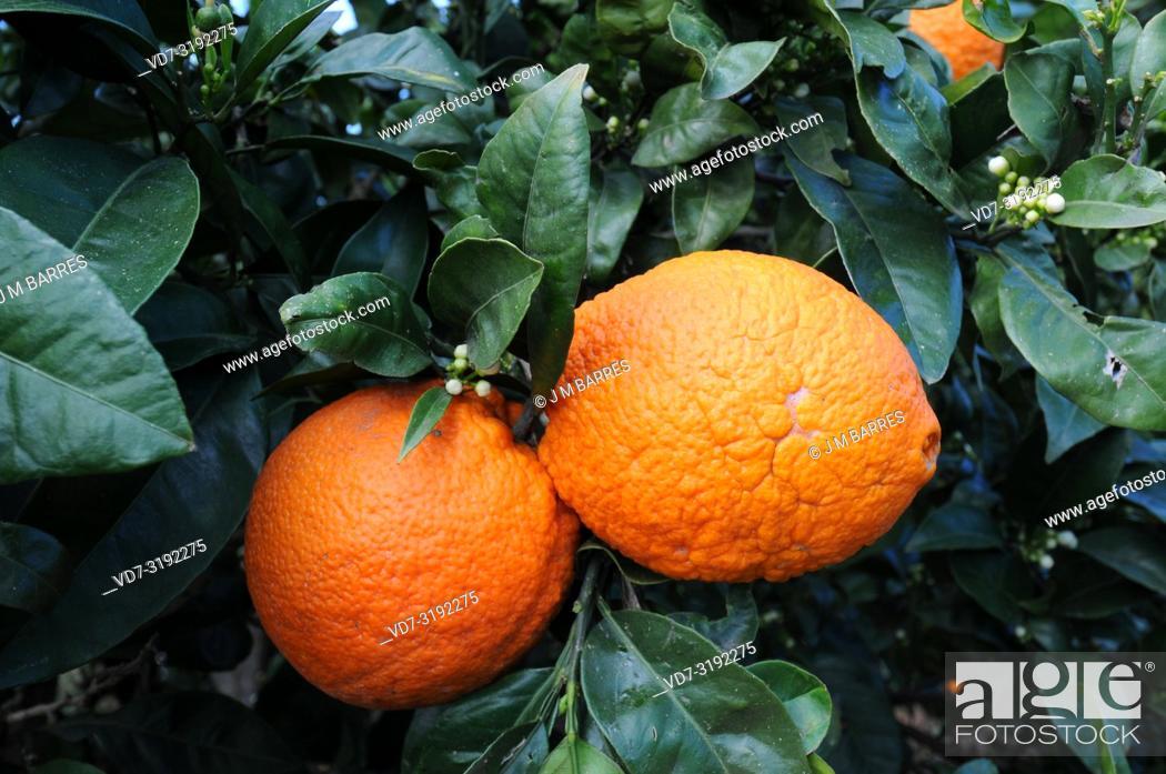 Imagen: Bitter orange (Citrus x aurantium) is a hybrid between Citrus maxima and Citrus reticulata. Its fruits are used to elaborate marmalade.