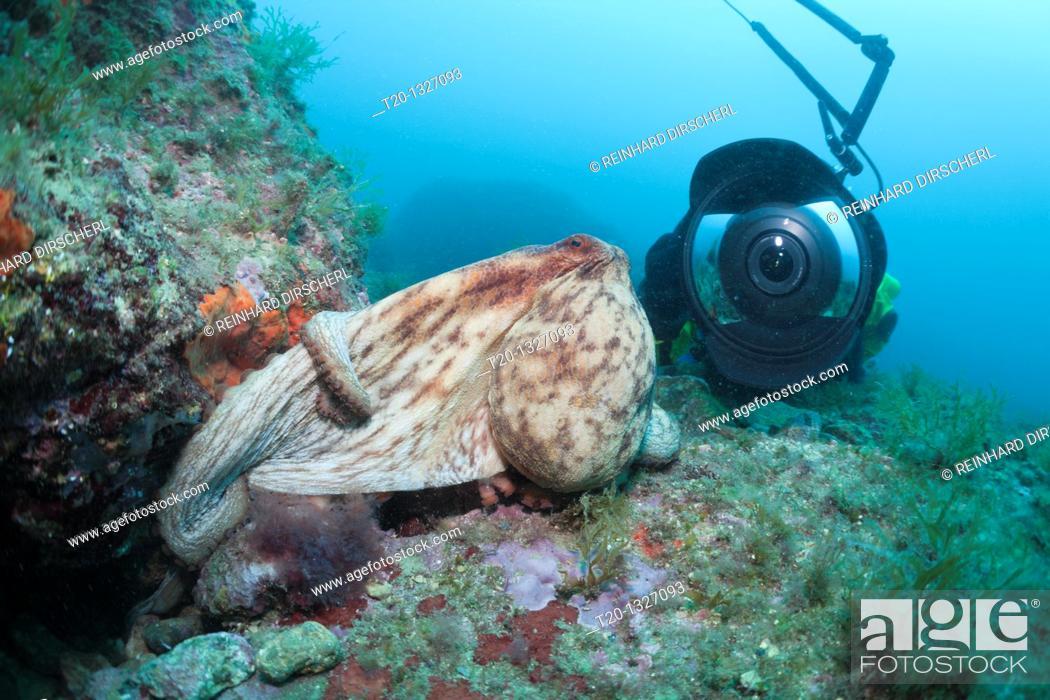 Stock Photo: Common Octopus and Underwaterphotographer, Octopus vulgaris, Cap de Creus, Costa Brava, Spain.