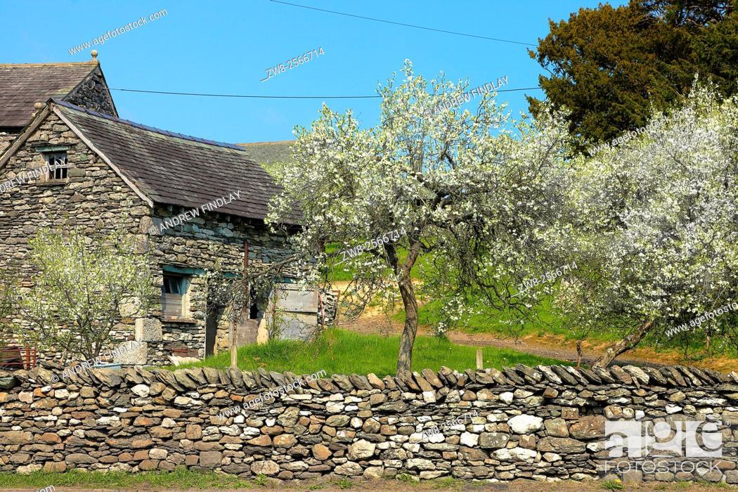 Stock Photo: Lyth Valley. Damson tree orchard in blossom. Dawson Fold, The Howe, Lake District National Park, Cumbria, England, United Kingdom.