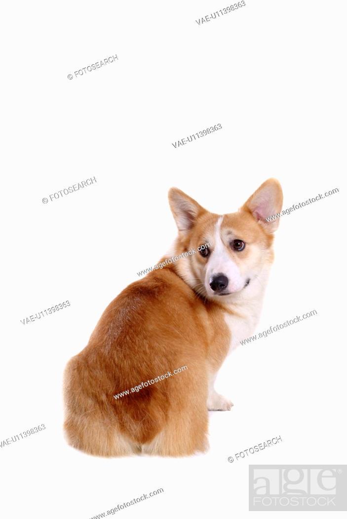 Stock Photo: domestic, cute, loving, canines, corgi.