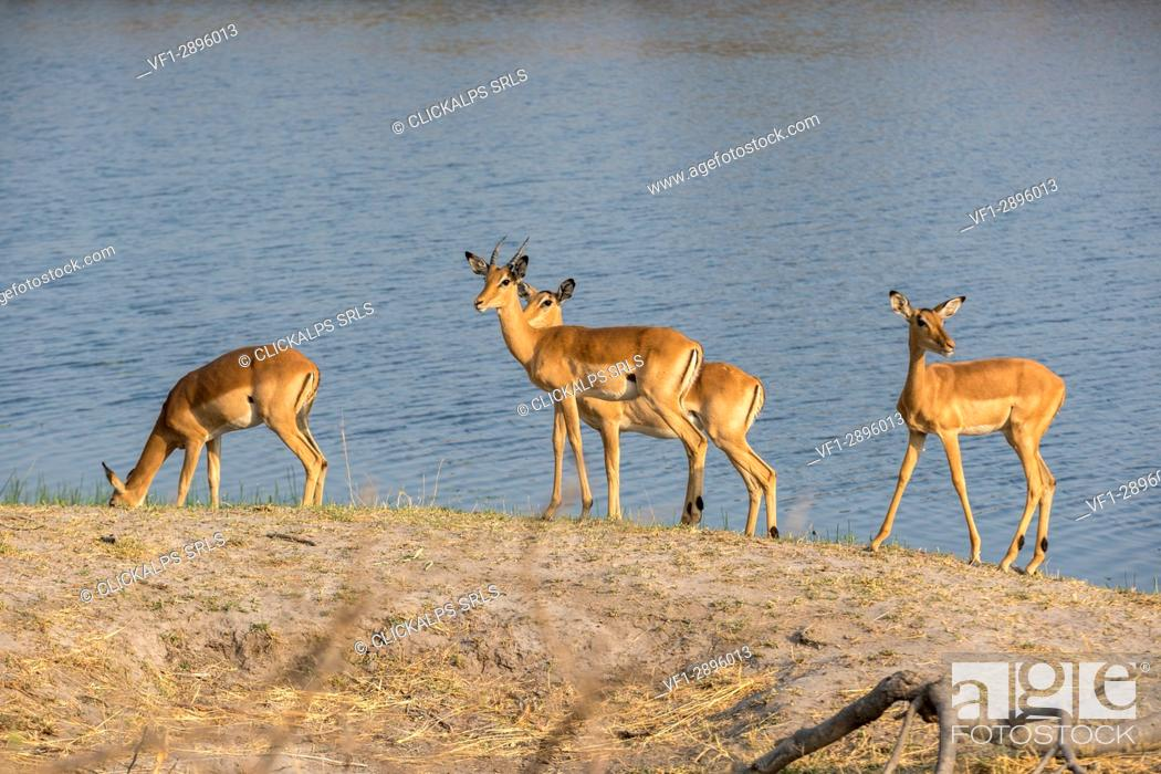 Imagen: Impala antelopes on the shores of Kwando River. Kwando Core Area, Bwabwata National Park, Namibia, Africa.