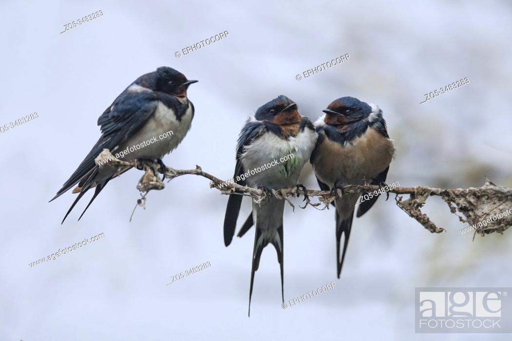 Stock Photo: Keoladeo National Park, Bharatpur, Rajasthan, India. Barn Swallow, Hirundo rustica.