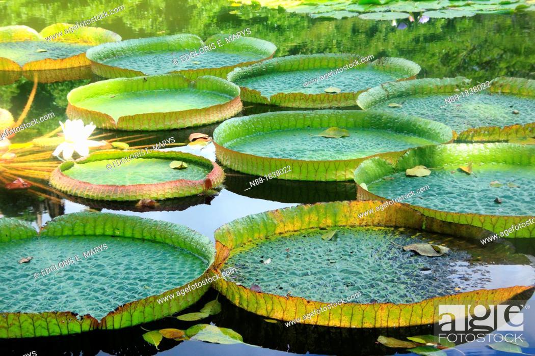 Stock Photo: Victoria cruziana, Caracas Botanical Garden, Venezuela.