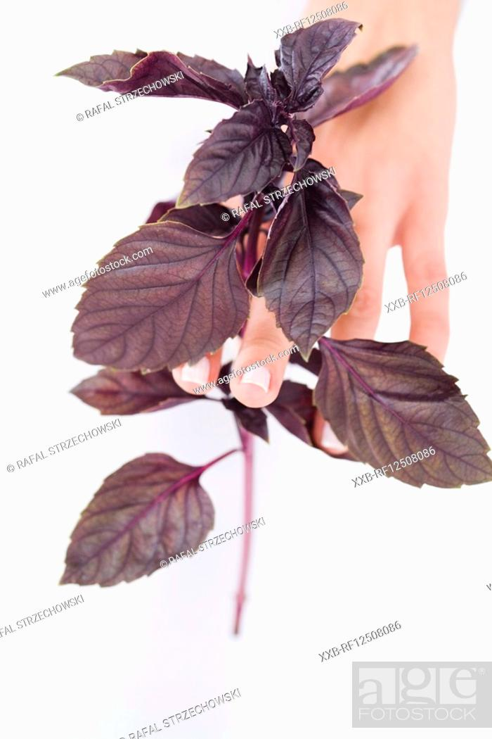 Stock Photo: closeup of hand with red basil.
