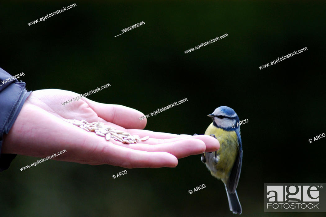 Stock Photo: Blue, Tit, on, human, hand, North, Rhine-Westphalia, Germany, Parus, caeruleus.