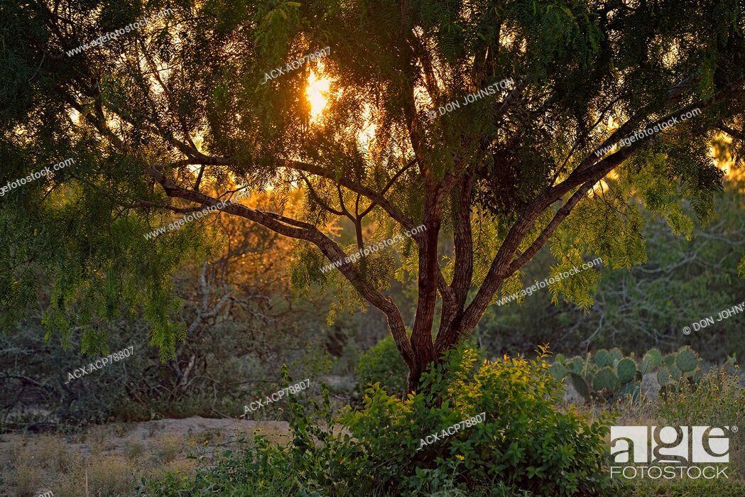 Imagen: Mesquite trees, Rio Grande City, Texas, USA.